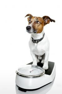 Is my dog overweight and why?